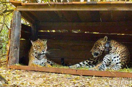 Tania y Qaramta, jaguares